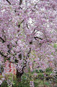 龍願寺境内風景「桜」
