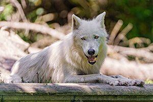 オオカミのイメージ写真2
