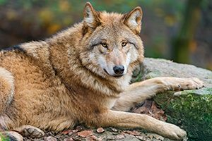 オオカミのイメージ写真